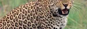 Nashik: 5-year-old girl mauled to death by leopard