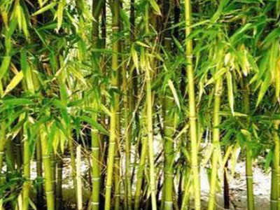 bamboo cultivation: Bamboo mission scrapped, UP fails to tap