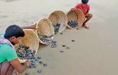 Turtle hatchlings: 6,500 turtle hatchlings released into sea