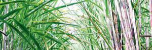 Sugarcane may help power future cars