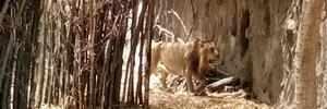 Katraj zoo: Punekars get a glimpse of Asiatic lion