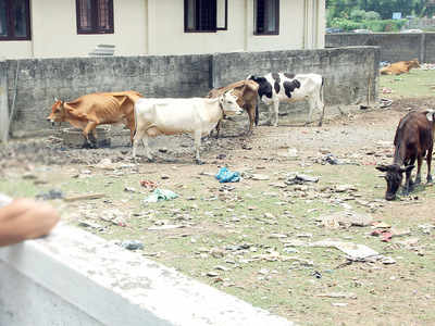 Oxytocin injections: In Chandigarh, cattle drugs give a