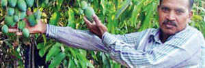 For Prez, mango variety blooms round the year