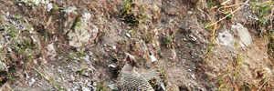 The Pheasants of Pangot