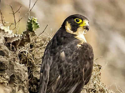 In rare sighting, Shaheen Falcon spotted in Gotri | Vadodara