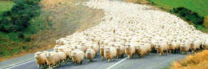 SHEEPISH MUCH, NEW ZEALAND?