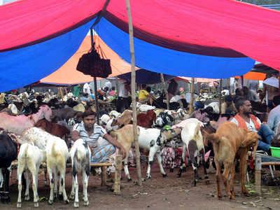 For Bakri Eid, elite opt for farm-bred goats over Deonar | Mumbai