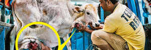Gau Rakshaks stop animal lovers from rescuing hurt calf