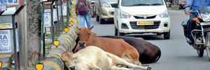 Cattle explosion imbroglio