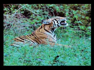 Tigress on prowl near HD Kote resort | Mysuru News - Times