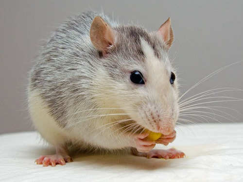 8 Home Remedies To Get Rid Of Rats The Times Of India