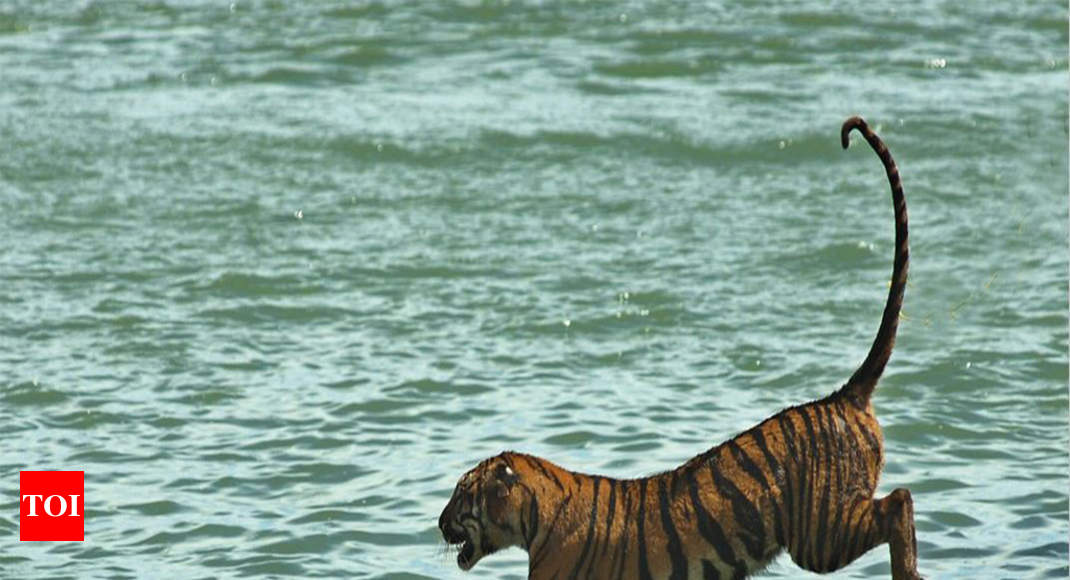Poachers kill tiger with wire trap inside Panna reserve | Bhopal ...
