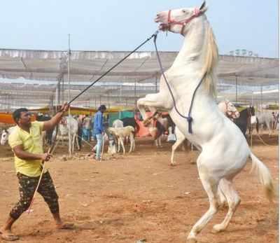 Oscar Vs Bahubali India S Oldest Horse Fair Rides High Mumbai