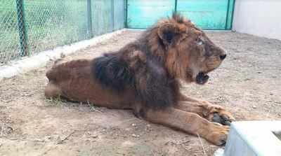 21-year-old lion, Prince, dies at Lucknow zoo | Lucknow News