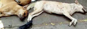 14 stray dogs, cats and crows found poisoned, killed in Rajendra Nagar
