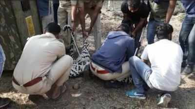 Two leopards die in 2 days, 1 in hit-and-run   Mumbai News