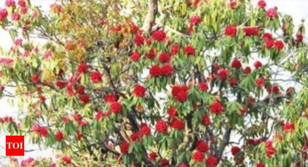 In mid winter spring flower blooms in hills dehradun news times in mid winter spring flower blooms in hills dehradun news times of india mightylinksfo