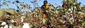 Maharashta government yet to start aid disbursal to pest-hit cotton farmers