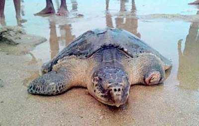 Bengal: Turtles nearly extinct in the wild found in north Bengal