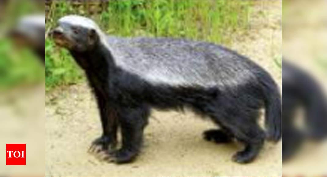 Sri Lankamalleswara Sanctuary Caught On Camera Rare Honey Badger Found In Kadapa Jungles Amaravati News Times Of India
