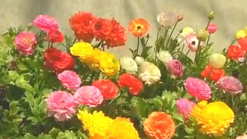 Demand for flower plant saplings surges in spring season in kashmir demand for flower plant saplings surges in spring season in kashmir mightylinksfo