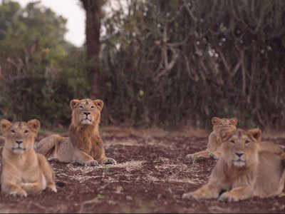 Lion mothers cubs after lioness dies   India News - Times of