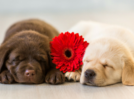 Humans find dogs of eight weeks of age most attractive
