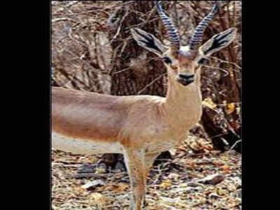 Dating Gazelle ram