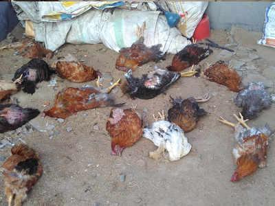 newcastle virus: Newcastle outbreak: 24,000 poultry birds