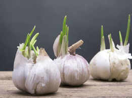 Sprouted potatoes are toxic, what about sprouted garlic?