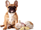Is garlic good/bad for dogs?