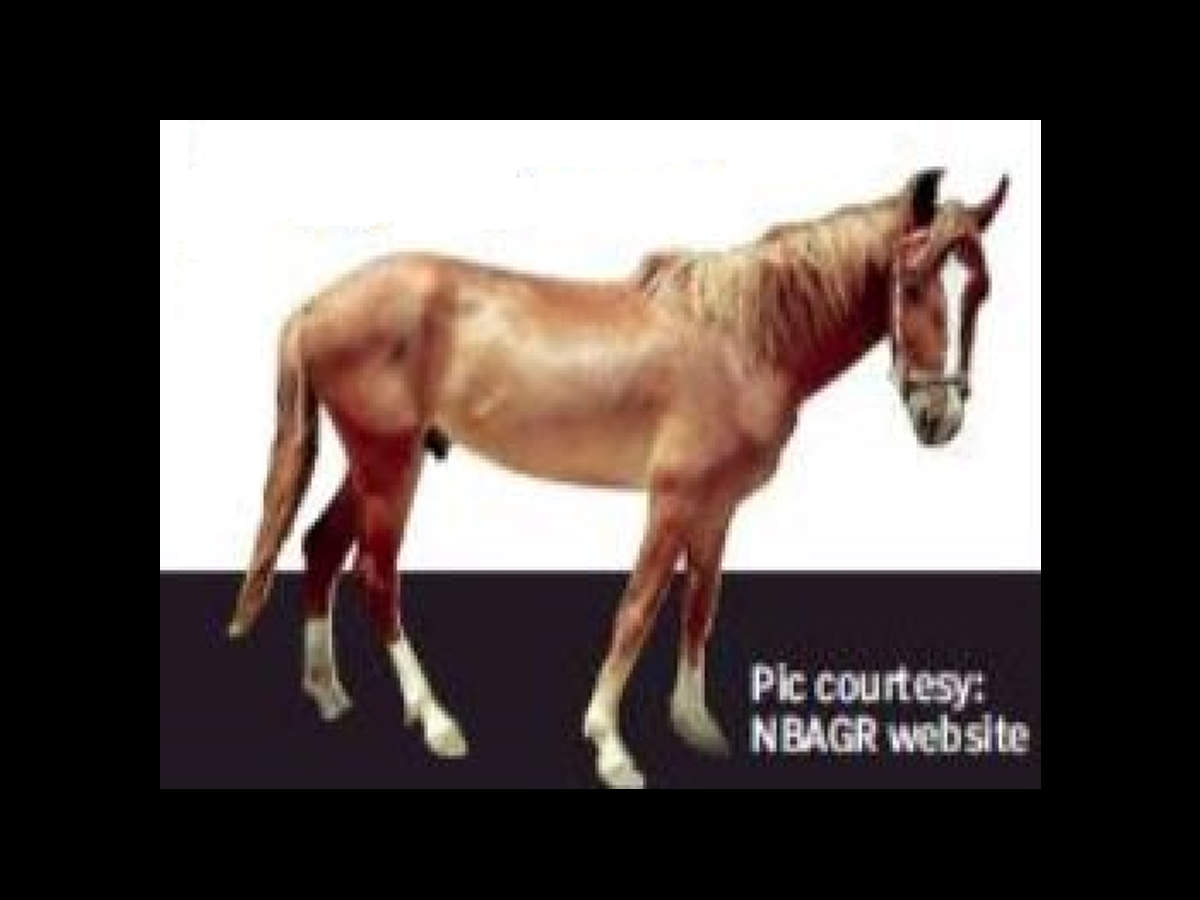 Marwari Horse India S Only Desert Horse Gallops Into Spotlight Chandigarh News Times Of India