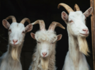 Goats can read expressions, prefer happy people!