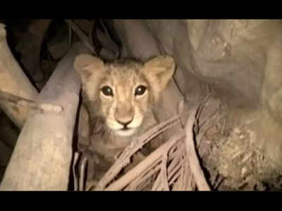 Kolkata: Alipore Zoo welcomes lion cub after two decades