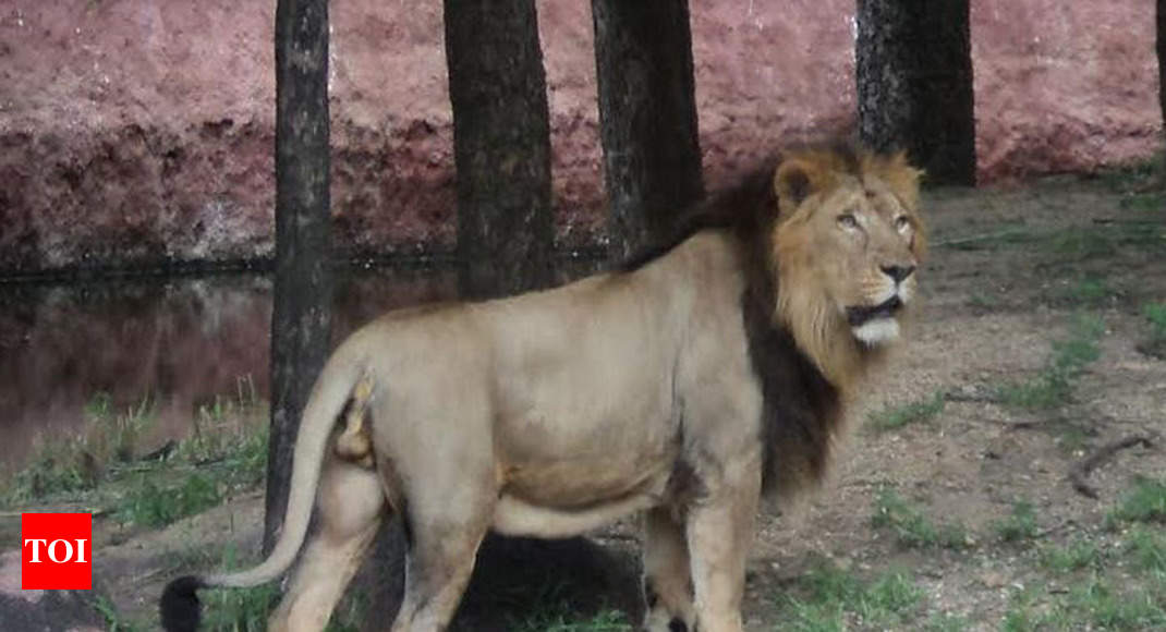 Lion Dad To 26 Cubs Dies At Hyderabad Zoo Hyderabad News Times