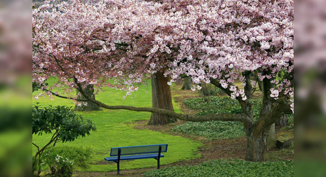 Dates For Indian International Cherry Blossom Festival To Be Held In Shillong Are Out Times Of India Travel