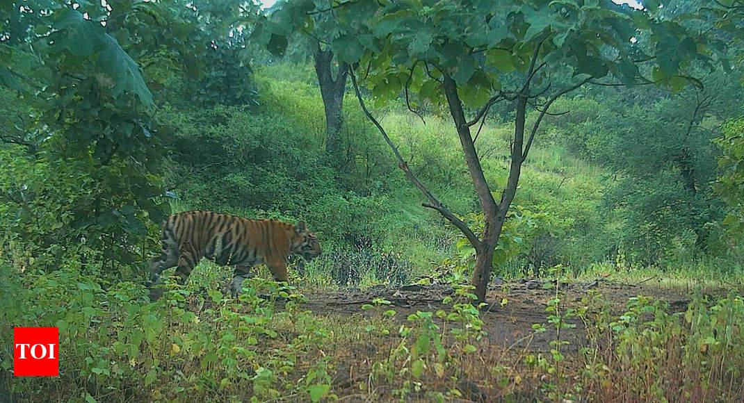 Cubs of Tigress Avni, shot for killing 13, spotted