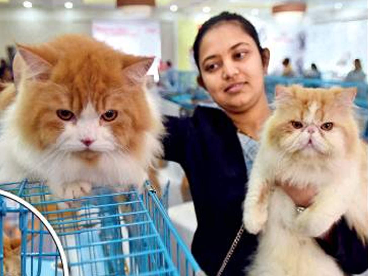 Cat Exploits At A Feline Show Pune News Times Of India