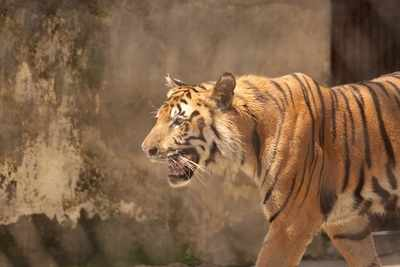 Why Captive or Man-Eating Big Cats Should not be Released into the Wild