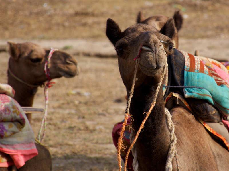 Some wonderful health benefits of camel milk