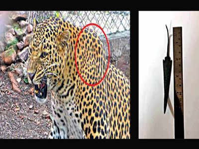 Stuck inside leopard for six years, 5-inch arrowhead removed