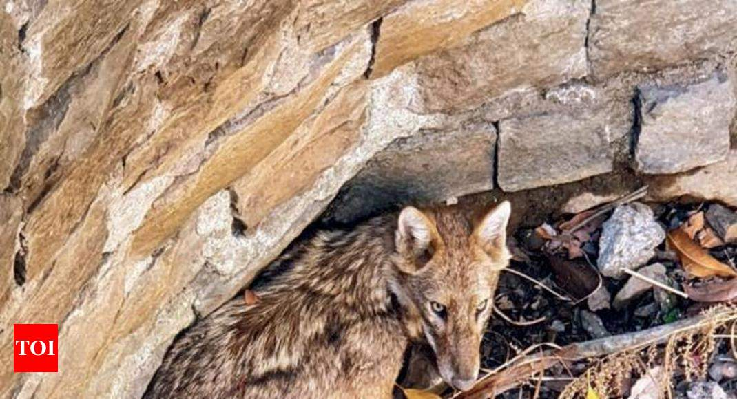 Jackal falls into Airoli dry well, gets out with fractured