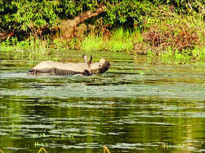 Rhino count up to 39 from 32 in 2017 in Dudhwa | Bareilly