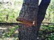 In Barkatullah University, rampant felling of sandalwood trees
