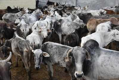 Amravati shelters seek govt help to feed cattle smuggled