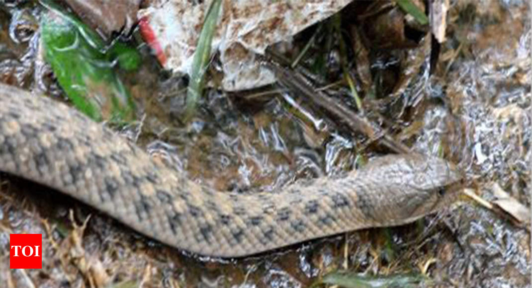 Shooed away by guard, Russell's viper bites girl