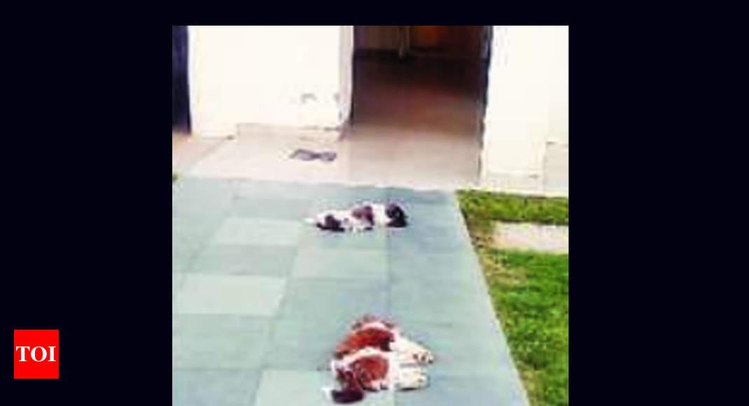 2 Shih Tzu Puppies 'fall' To Death From Gurugram's 8th-floor Flat, Owner Under Probe | Gurgaon News