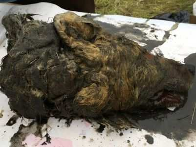 Viral: Tissues of 40k year-old dead wolf intact