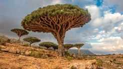 All about Yemen's Dragon Blood Trees