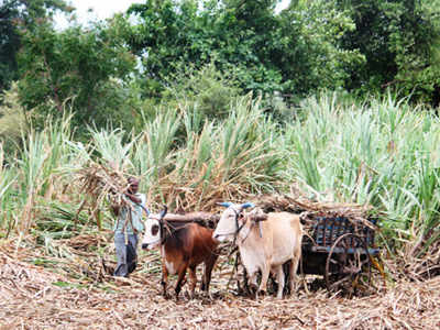 Sugarcane farmers demand pending dues amounting to Rs 19 crore from
